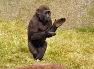 Monkey clapping