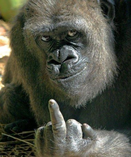 Gorilla giving finger
